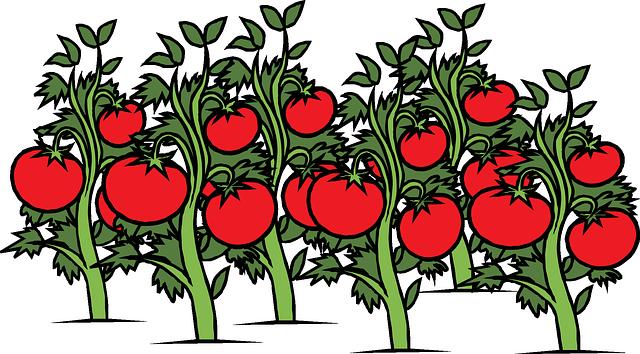 tomatenoogst